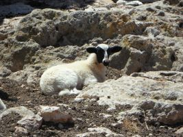 Black-headed sheep alone on a rock